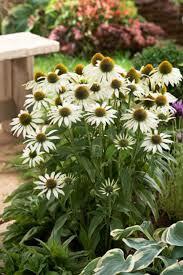 Třapatka nachová 'Avalanche' - Echinacea purpurea 'Avalanche'