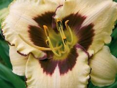 Denivka 'Canadian Border Patrol' - Hemerocallis 'Canadian Border Patrol'