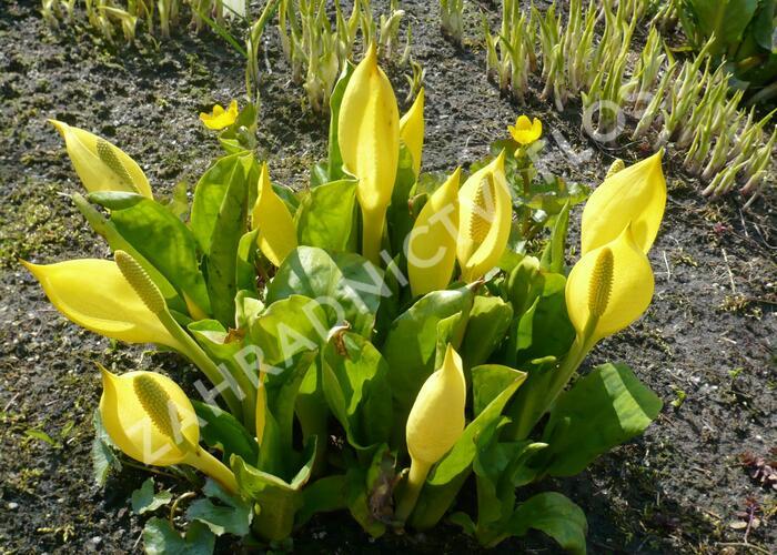 Kapsovec americký - Lysichiton americanus