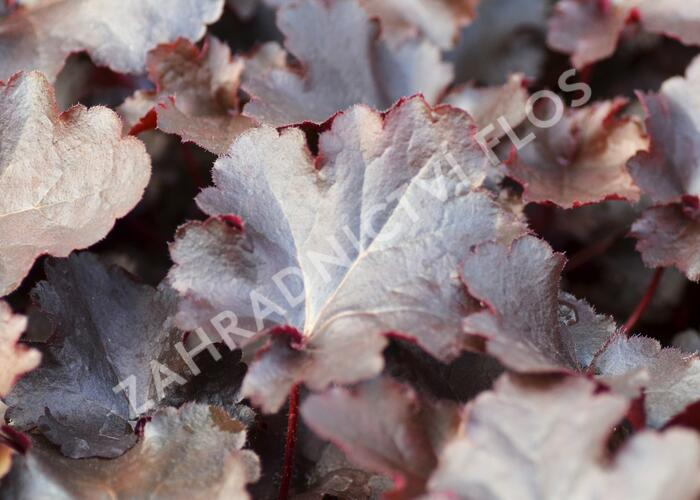 Dlužicha 'Black Beauty' - Heuchera hybrida 'Black Beauty'