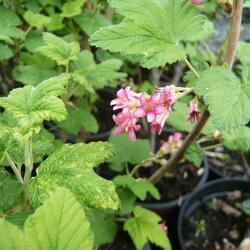 Meruzalka krvavá - Ribes sanguineum