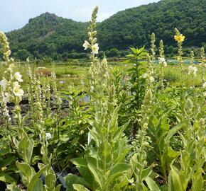 Divizna 'Spica' - Verbascum hybridum 'Spica'