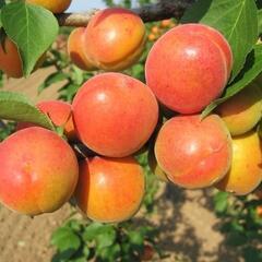 Meruňka raná 'Karola' - Prunus armeniaca 'Karola'