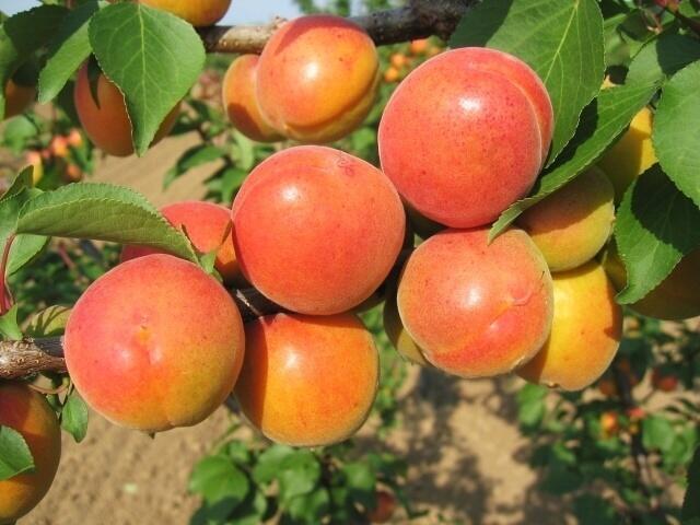 Meruňka - raná 'Karola' - Prunus armeniaca 'Karola'