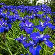 Kosatec sibiřský 'Blue Bird' - Iris sibirica 'Blue Bird'