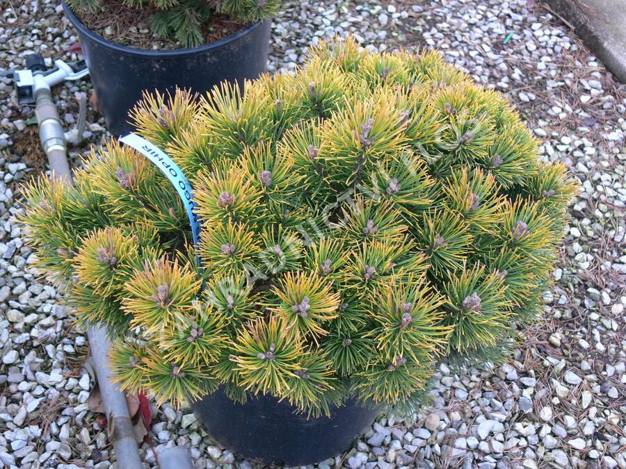 Borovice kleč 'Ophir' - Pinus mugo 'Ophir'