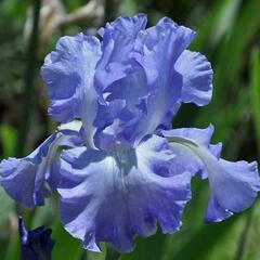 Kosatec německý 'Victoria Falls' - Iris barbata-elatior 'Victoria Falls'