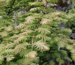 Metasekvoje tisovcovitá 'Matthaei Broom' - Metasequoia glyptostroboides 'Matthaei Broom'