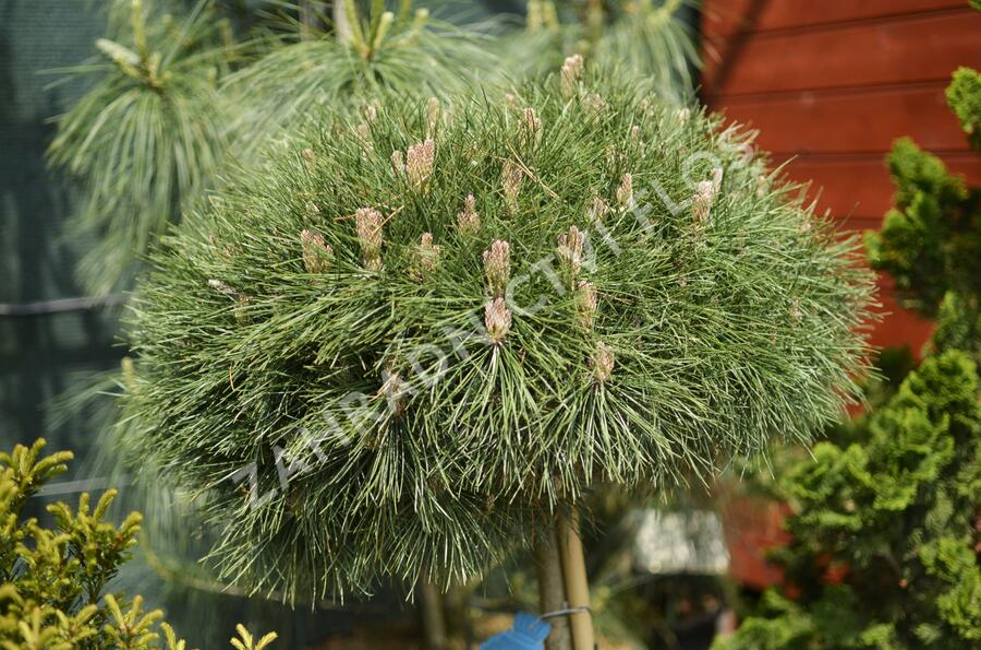 Borovice černá 'Bambino' - Pinus nigra 'Bambino'