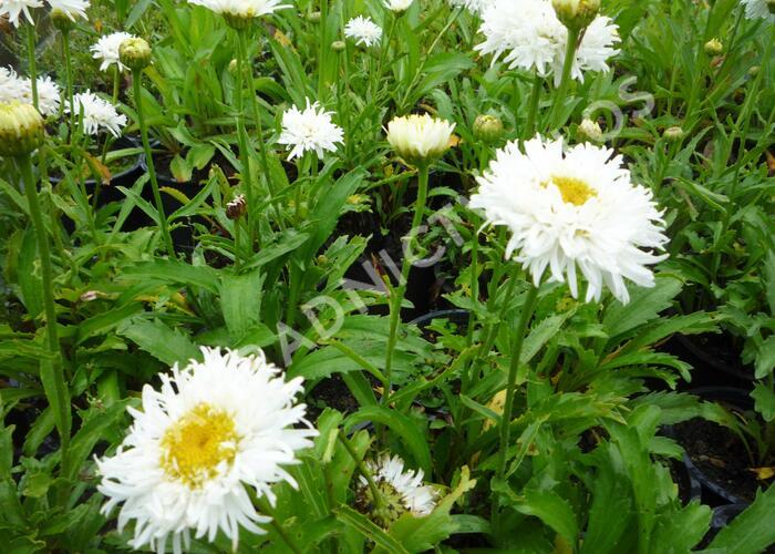 Kopretina největší 'Engelina' - Leucanthemum maximum 'Engelina'