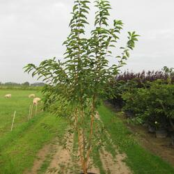 Střemcha Macckova 'Amber Beauty' - Prunus maackii 'Amber Beauty'