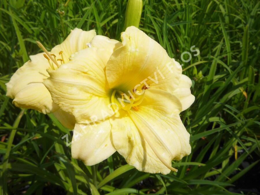 Denivka 'Longfields Pearl' - Hemerocallis 'Longfields Pearl'