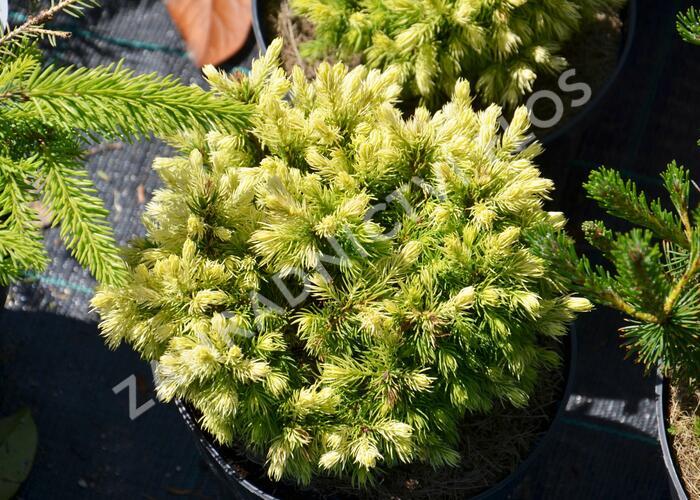 Smrk sivý 'Jalako Gold' - Picea glauca 'Jalako Gold'