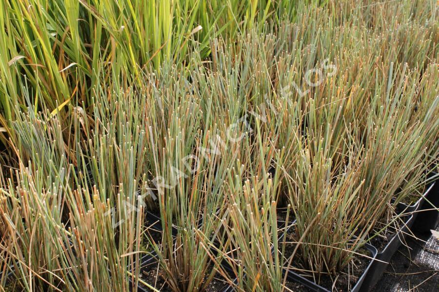Ovsíř stálezelený 'Pendula' - Helictotrichon sempervirens 'Pendula'
