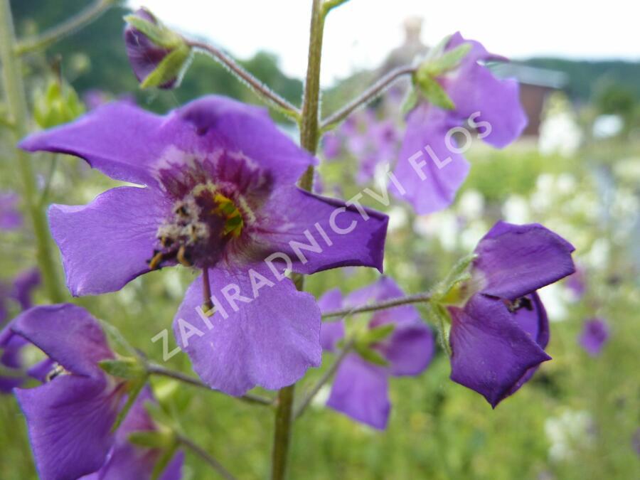 Divizna brunátná 'Violetta' - Verbascum phoeniceum 'Violetta'