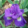 Kosatec 'Kaboom' - Iris sibirica 'Kaboom'