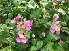 Sasanka 'Splendens' - Anemone hupehensis 'Splendens'