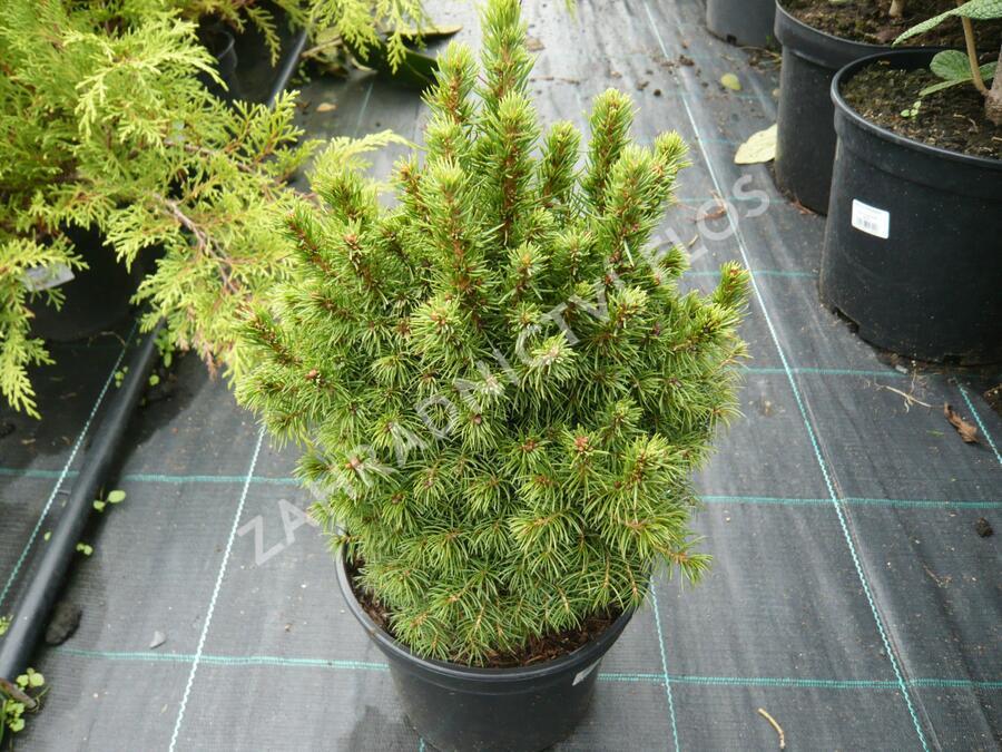 Smrk sivý 'Alberta Globe' - Picea glauca 'Alberta Globe'
