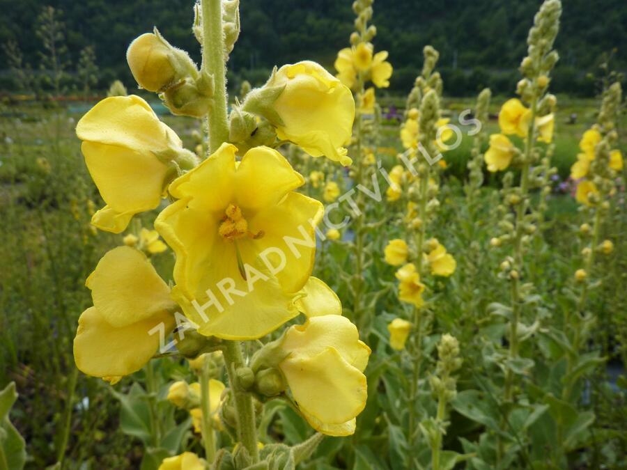 Divizna 'Wega' - Verbascum hybridum 'Wega'