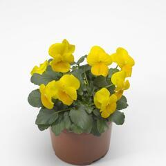 Violka růžkatá 'Yellow Prince' - Viola cornuta 'Yellow Prince'
