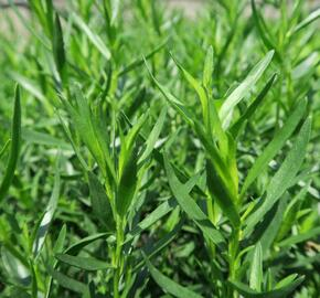 Pelyněk estragon 'Pfefferkorn' - Artemisia dracunculus 'Pfefferkorn'