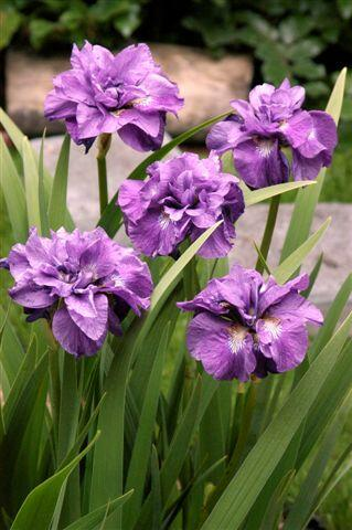 Kosatec 'Imperial Opal' - Iris sibirica 'Imperial Opal'