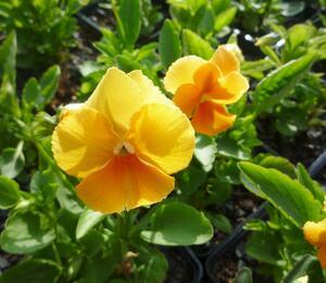 Violka růžkatá 'Aprikosenfarbe' - Viola cornuta 'Aprikosenfarbe'