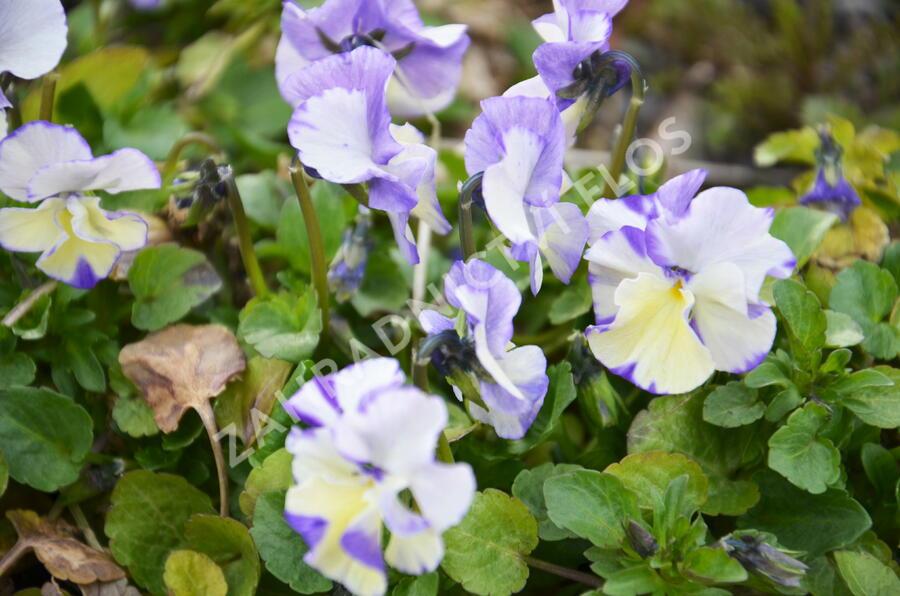 Violka břečťanová 'Columbine' - Viola hederacea 'Columbine'