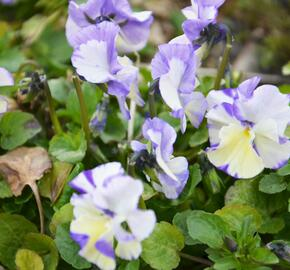 Violka australská, břečťanolistá 'Columbine' - Viola hederacea 'Columbine'