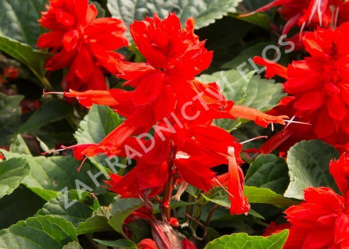 Šalvěj zářivá 'Flamex' - Salvia splendens 'Flamex'
