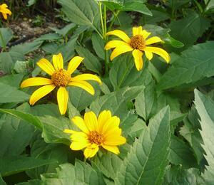 Janeba drsná 'Sonnenschild' - Heliopsis helianthoides var. scabra 'Sonnenschild'