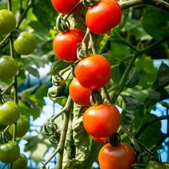 Rajče tyčkové cherry 'Supersweet 100' - Lycopersicon esculentum 'Supersweet 100'