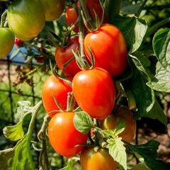 Rajče tyčkové datlové cherry 'Piccadilly' - Lycopersicon esculentum 'Piccadilly'