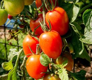 Rajče tyčkové - červené oválné - Lycopersicon esculentum 'Piccadilly'