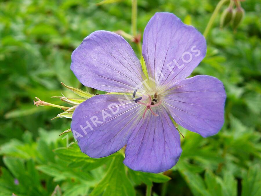 Kakost himalájský - Geranium himalayense