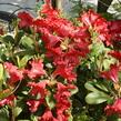 Pěnišník 'Bad Eilsen' - Rhododendron (R) 'Bad Eilsen'
