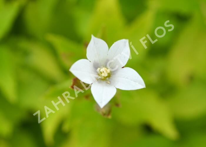 Zvonek bělokvětý 'Alba' - Campanula lactiflora 'Alba'