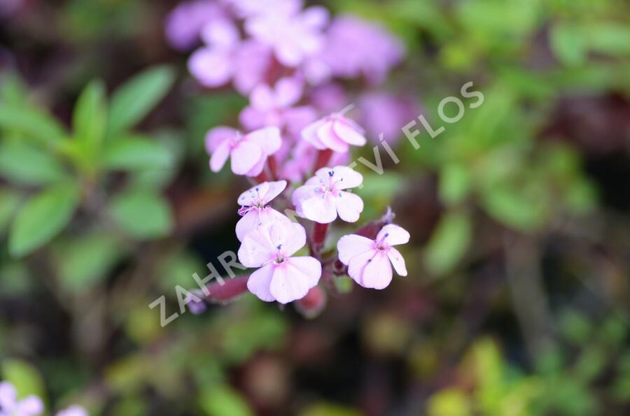 Mydlice bazalkovitá - Saponaria ocymoides