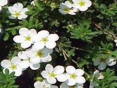 Mochna křovitá 'Snowflake' - Potentilla fruticosa 'Snowflake'