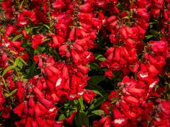 Dračík 'Phoenix Red' - Penstemon hartwegii 'Phoenix Red'