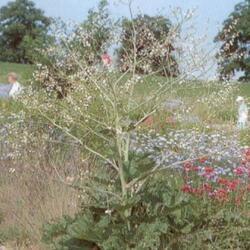 Katrán srdčitý - Crambe cordifolia