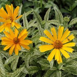 Jeneba drsná 'Sunstruck' - Heliopsis helianthoides 'Sunstruck'
