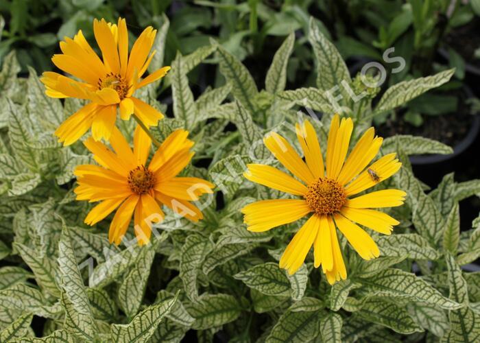 Janeba drsná 'Sunstruck' - Heliopsis helianthoides 'Sunstruck'