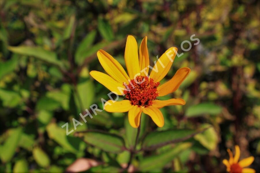 Janeba drsná 'Prairie Sunset' - Heliopsis helianthoides 'Prairie Sunset'