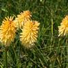 Kleopatřina jehla 'Bees Lemon' - Kniphofia 'Bees Lemon'