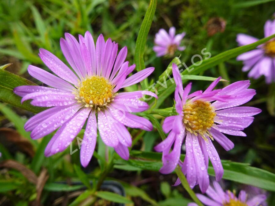Hvězdnice keříčkovitá 'Wood's Pink' - Aster dumosus 'Wood's Pink'