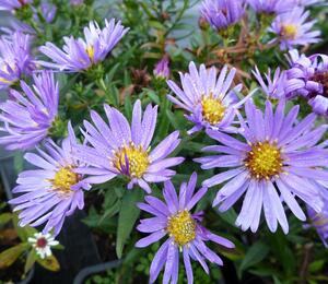 Hvězdnice keříčkovitá 'Wood's Light Blue' - Aster dumosus 'Wood's Light Blue'