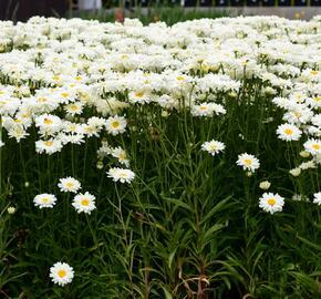 Kopretina 'Bridal Bouquet' - Leucanthemum 'Bridal Bouquet'
