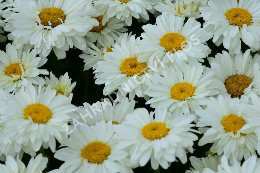 Kopretina 'Paladin' - Leucanthemum 'Paladin'