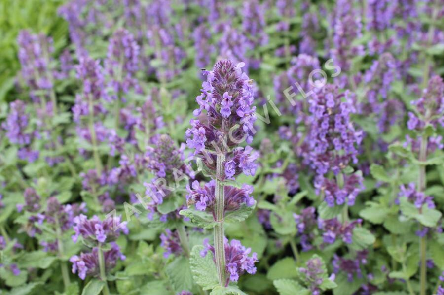 Šanta 'Purple Haze' - Nepeta 'Purple Haze'